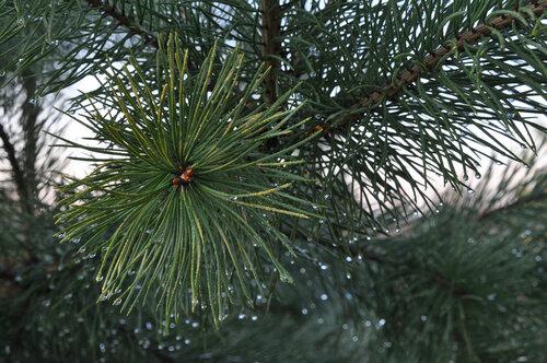 Сосна обыкновенная (Pinus sylvestris). Автор: Владимир Брюхов