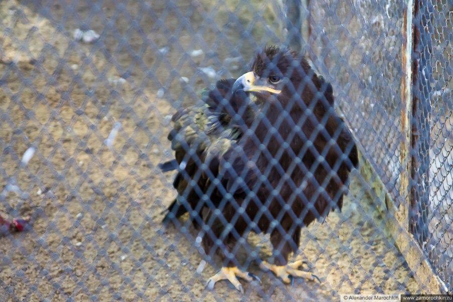 Орёл в зоопарке (Саранск)