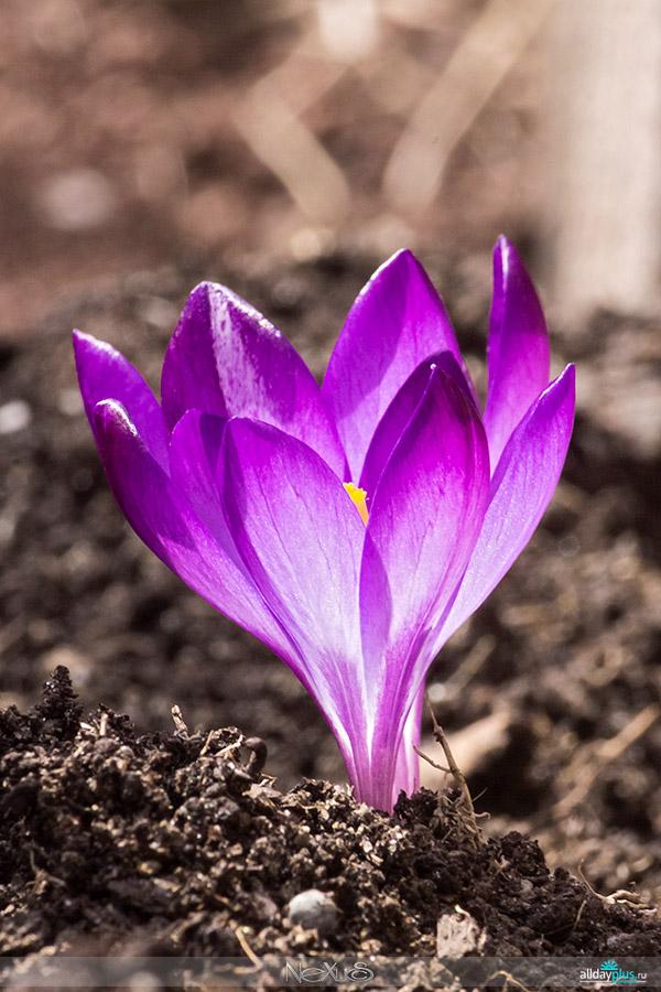 Я люблю все цветы, часть 34 | Шафран (лат. Crocus)