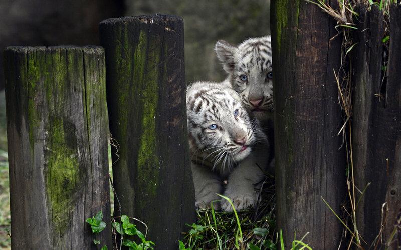 Как белые тигрята родились в Аргентине