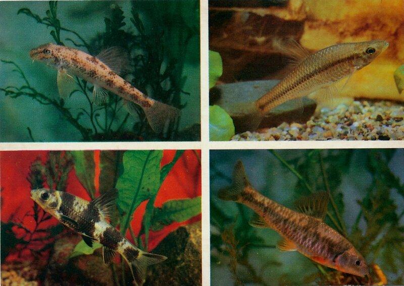 АМУРСКИЙ ЛЖЕПЕСКАРЬ. Pseudogobio rivularis.  АМУРСКИЙ, ИЛИ КИТАЙСКИЙ ЧЕБАЧЕК. Pseudorasbora parva.  ПЕСКАРЬ-ЛЕНЬ. Sarcocheilichthys sinensis lacustris.  ПЕСКАРЬ-ГУБАЧ СОЛДАТОВА. Chilogobio soldatovi.