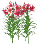 Lillies-1-Belles-Graphics.png