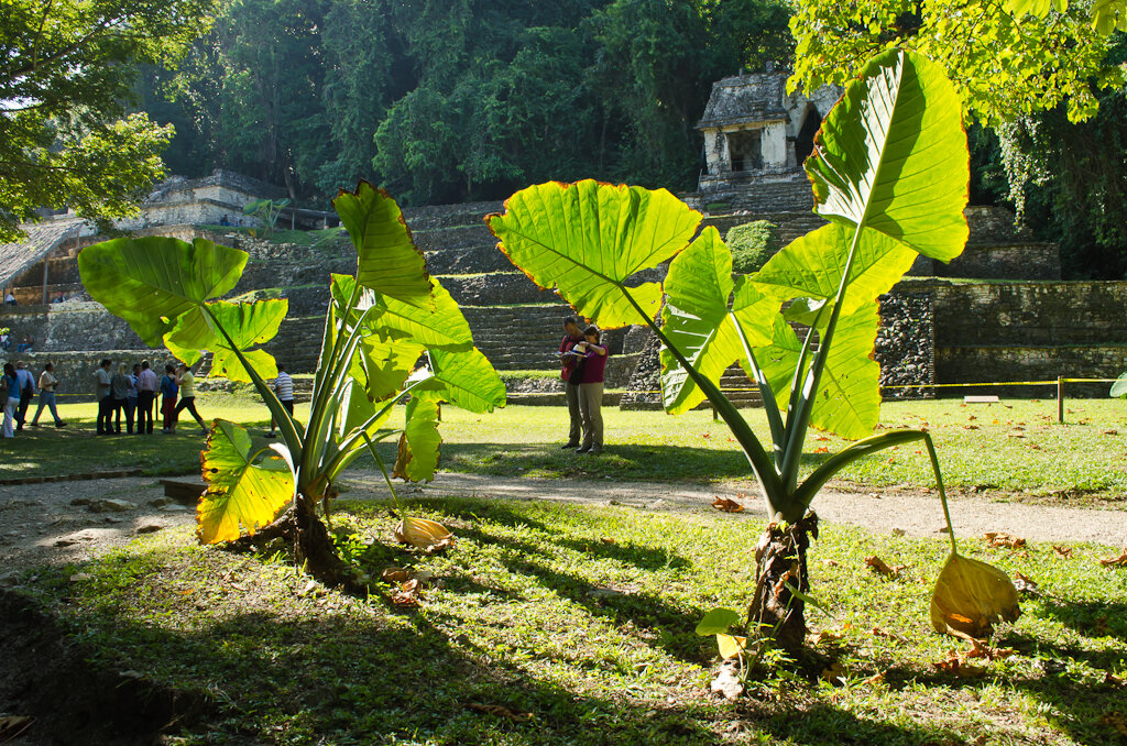Утро в археологическом комплексе Palenque в Мексике. Древние пирамиды Майя