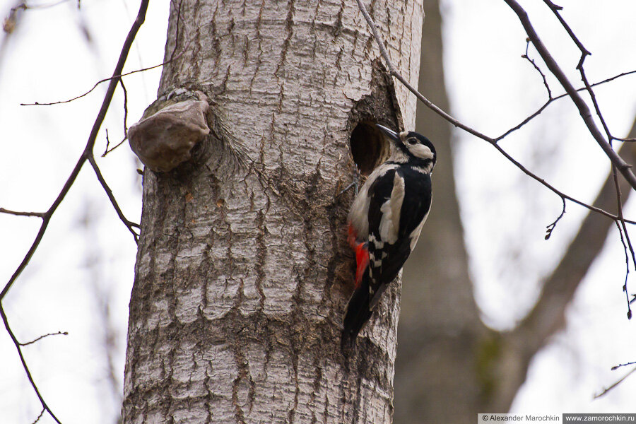 Большой пёстрый дятел | Great Spotted Woodpecker