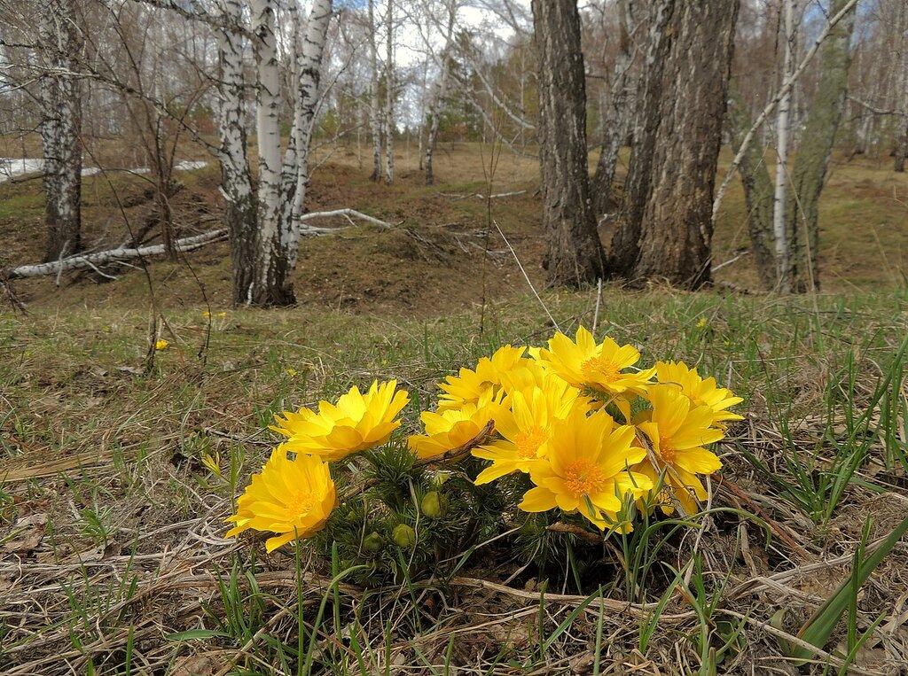 цветущий адонис