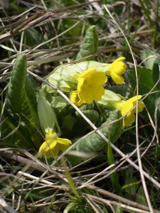 Первоцвет весенний (Primula veris)