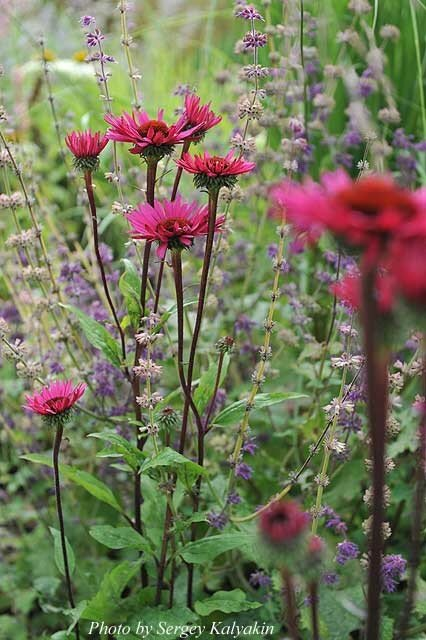 Echinacea Fatal Attraction (17).JPG