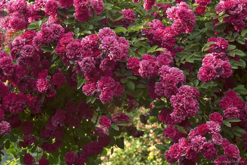 Роза вьющаяся розовая