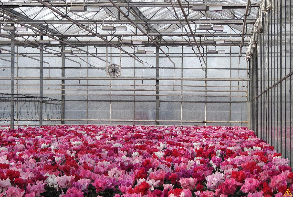 Цветов, цветы тепличные оптом
