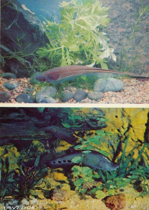 Эйгенмания, или зеленая рыба-нож (Eigenmannia virescens). Пятнистая рыба-нож (Notopterus chitala).