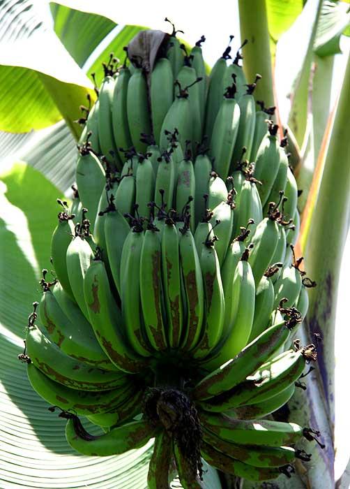 Б = Банан