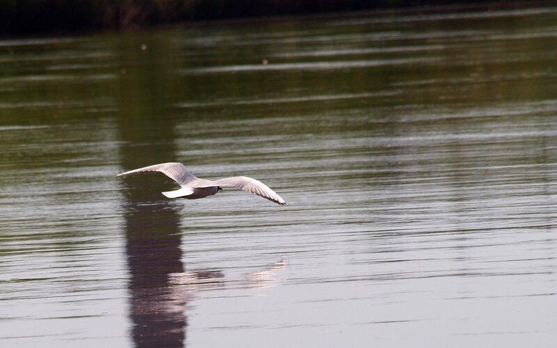Чайка на бреющем полёте над рекой P5172910