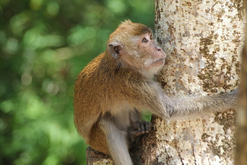 Длиннохвостый макак (яванский, макак-крабоед, Macaca fascicularis) обнимает дерево