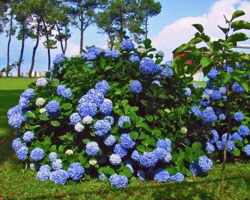 Пышность цветения