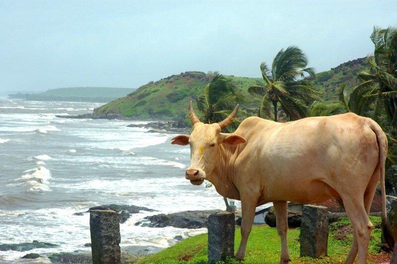 Найдено золото в моче священной коровы