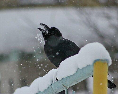 Прочистила утречком горло слегка -Для этого малость поела снежка!С утра я хриплю,но сегодня для васЯ громко спою мой любимый романс!