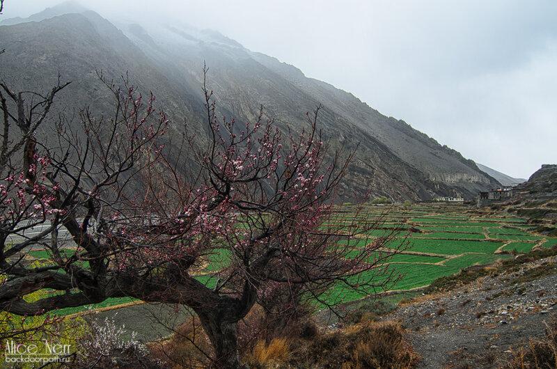 цветущее дерево и рисовые поля на подходе к Какбени, Гималаи, Непал
