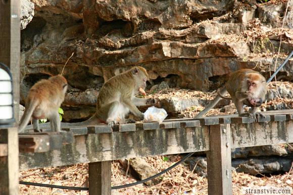 На тропе обезьян по пути в центара гранд бич отель