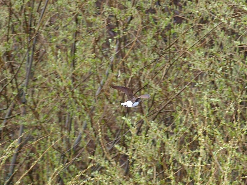 Черныш (Tringa ochropus) P5042075