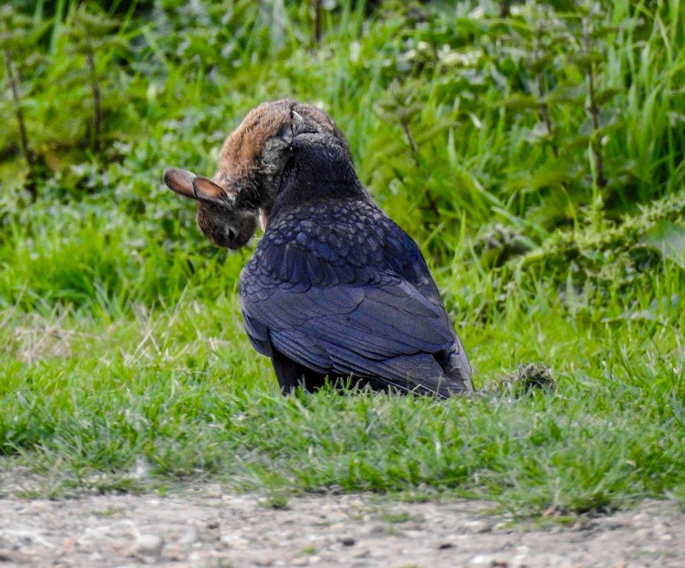 Кровожадные вороны убили кролика