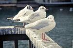 Чайки на реке Лиммат