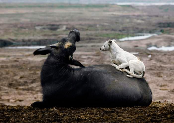 корова и пес