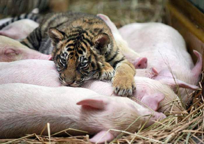 тигр и поросята
