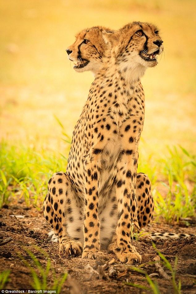 Двуликий гепард.