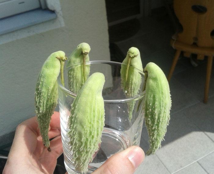 Мы без понятия, что это, но, похоже, существует фрукт, который выглядит как попугай.
