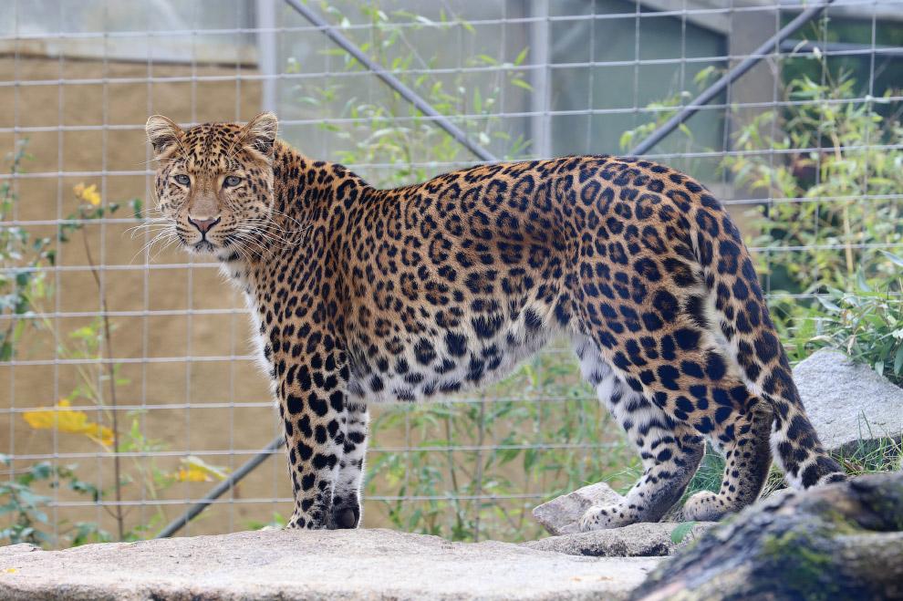 Дальневосточный леопард (Panther pardus orientalis) Это самый редкий подвид леопарда . В дикой
