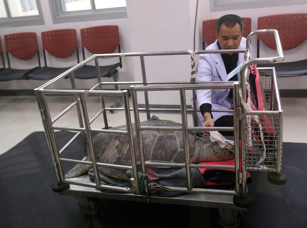 9. В течение полугода черепаха будет проходить физиотерапию для восстановления после операции.