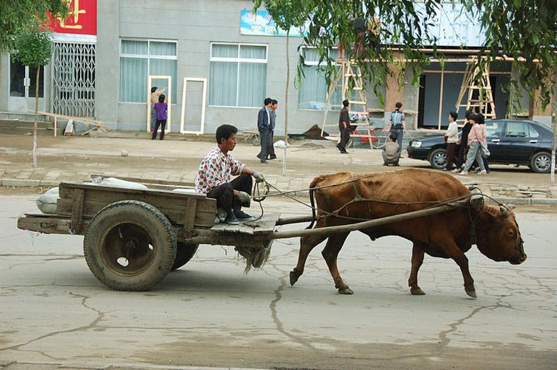 37. Зато можно долго изучать различные говяжьи транспортные средства. Животные перемещаются без лишн