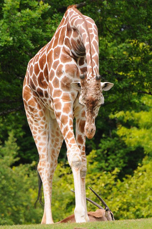 9. Все в своей жизни жираф делает стоя, и спит он тоже стоя, около 10 минут за сеанс.