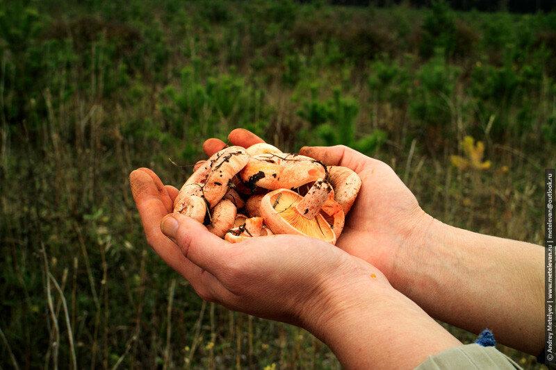 грибы рыжики в руках
