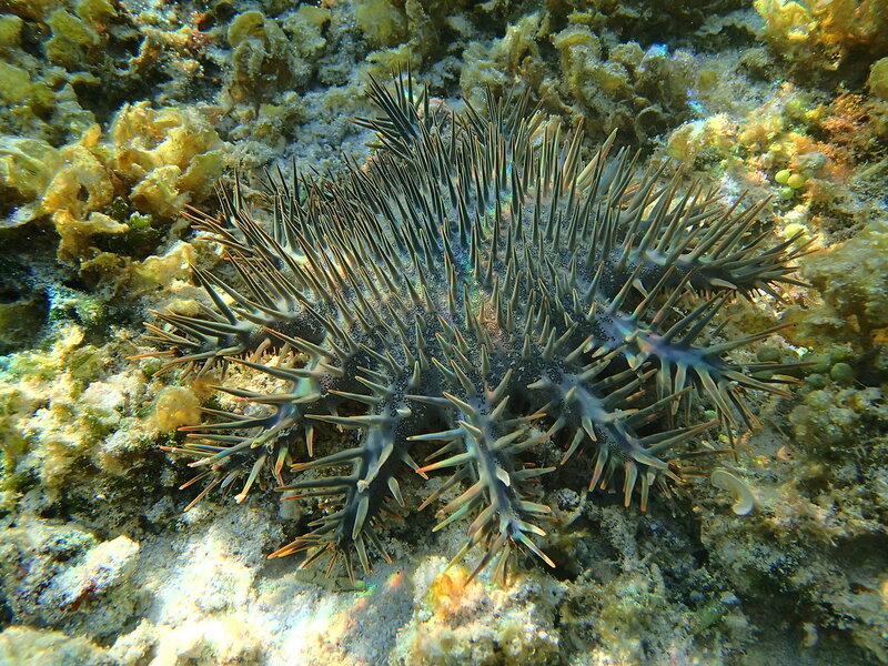 Терновый венец (Acanthaster planci)