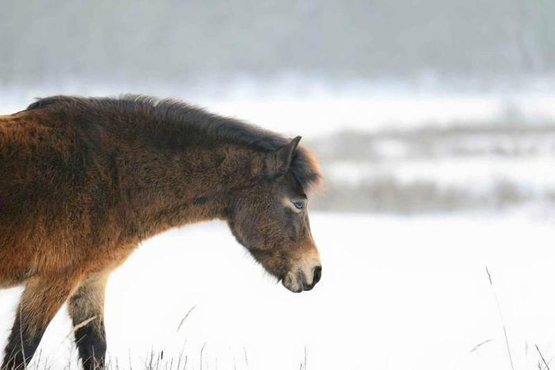 В Чувашии разводят пони. Фотографии маленьких лошадок и Николая Николаева
