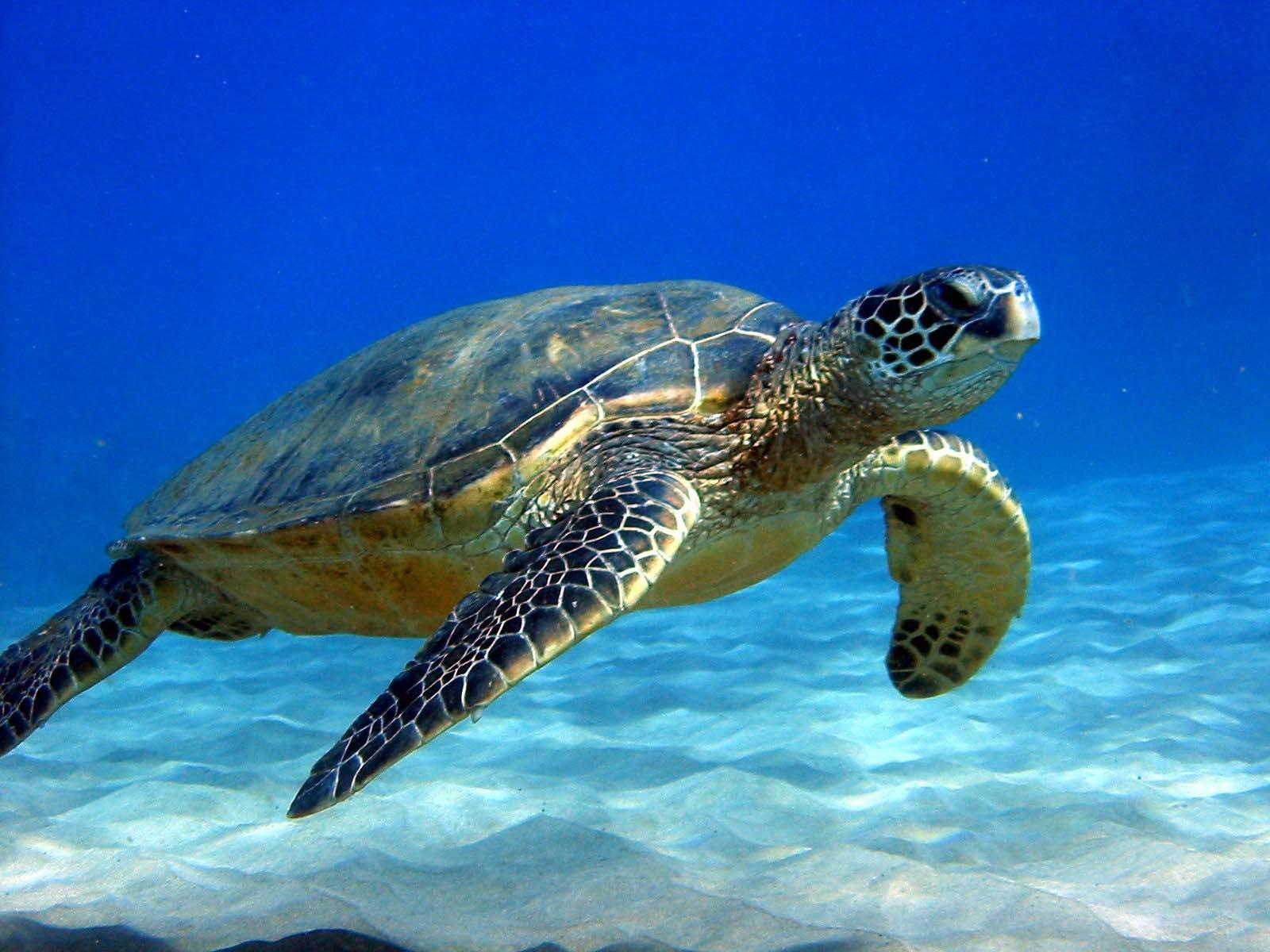 Підводна черепашка