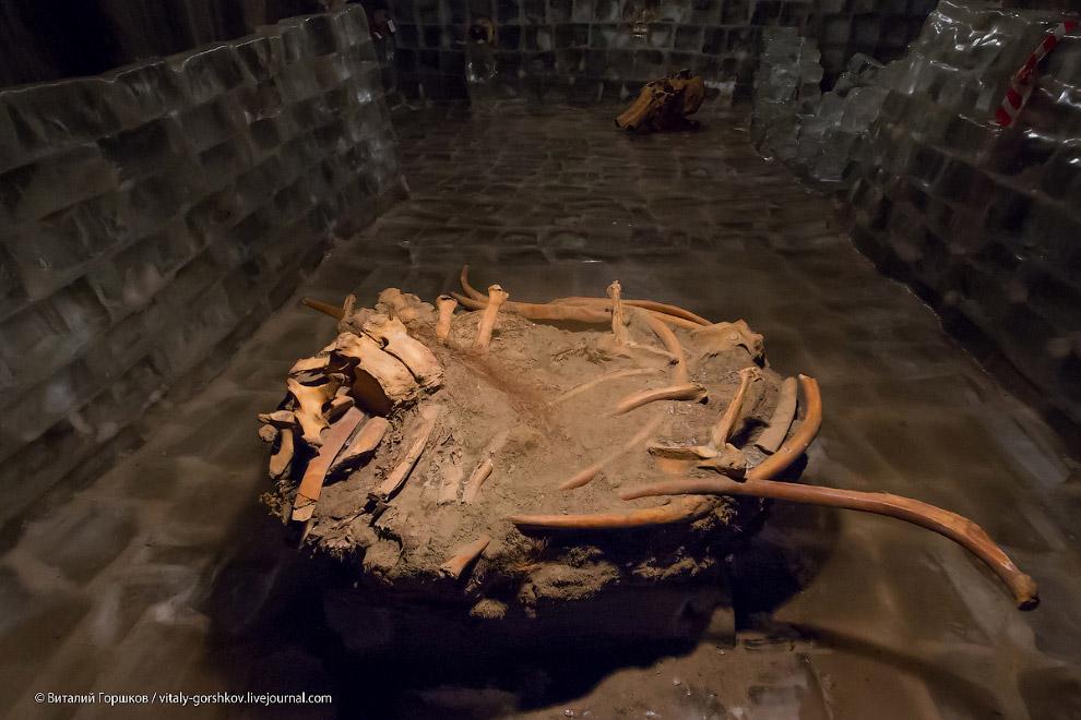 14. Работы по программе «Mammuthus» продолжаются уже более десятилетия. В 2001 году были найден