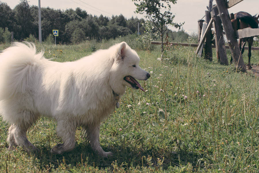 фото, самоед, собака, Виннисамоед
