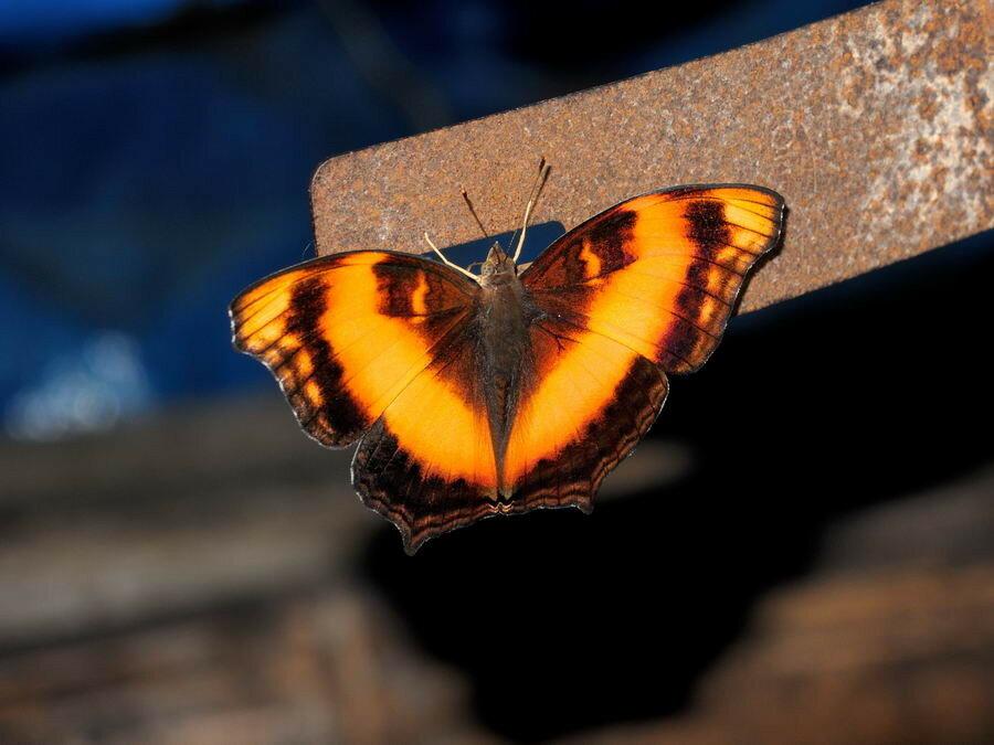 Бабочка с близкого расстояния