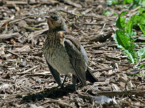 Это молодой дрозденок с не очень умным видом осматривается вокруг (в нашем городком паке). И крылья ему как-то мешают по-моему, не знает, куда их девать. Автор фото: Юрий Семенов