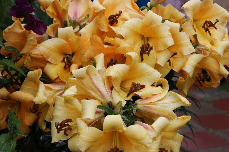 Потрясающие лилии
