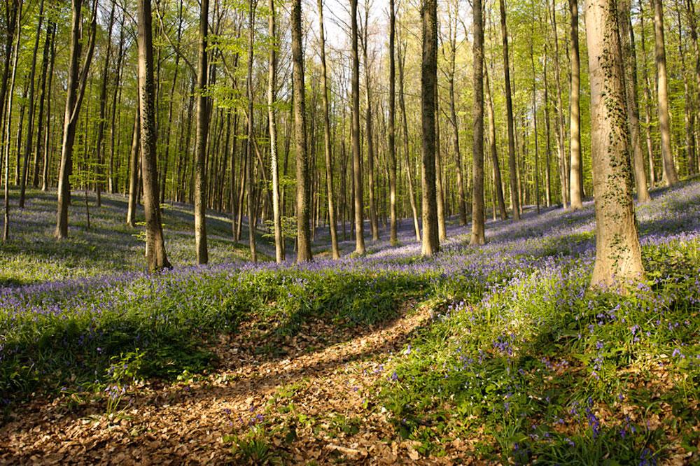 Фотографии Халлербоса   лес синих колокольчиков в Бельгии 0 140af9 a7f61ffd orig