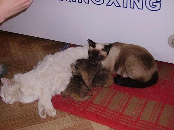Котята оказались детенышами палласова кота, или манула, — редкого вида дикой кошки, который обитает