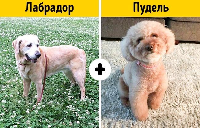 10умилительных пород собак, окоторых почти никто незнает (20 фото)