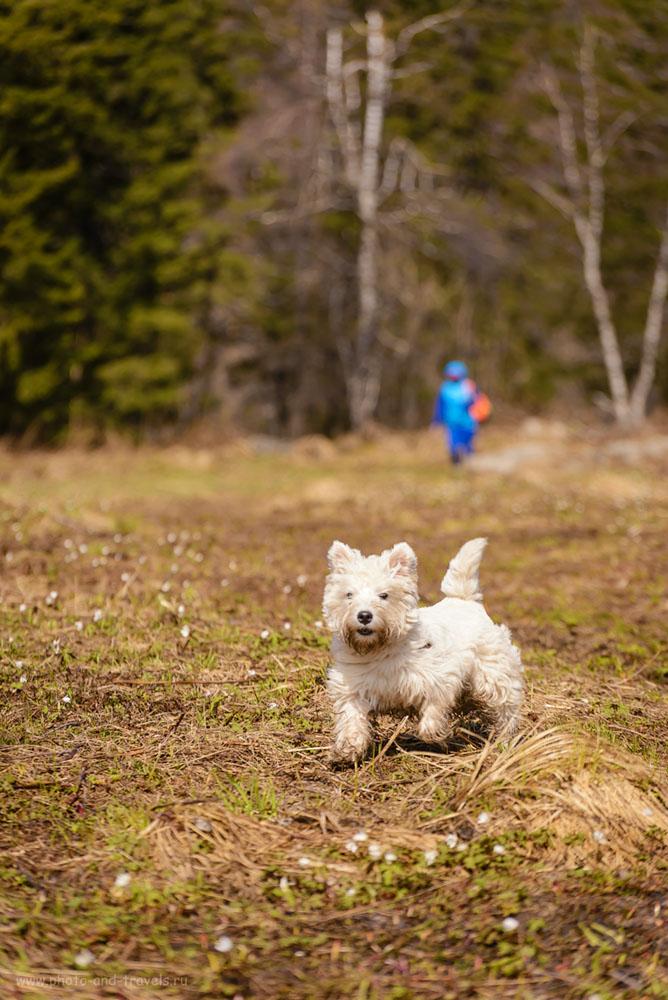 Фотография 18. Гора Зюраткуль привлекает к себе не только людей, но и прекрасных собачек тоже. Знакомьтесь, это – игрушечный Марс, приехавший на выходные в национальный парк со своими хозяевами из Челябинска. 1/1000, 5.0, 125, 165.