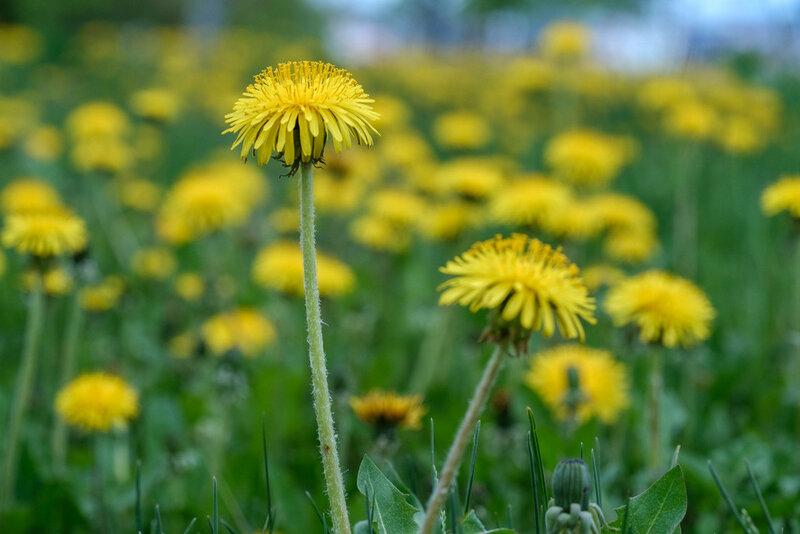 цветущий одуванчик