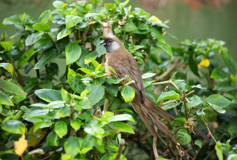 Бурокрылая птица-мышь (Colius striatus)