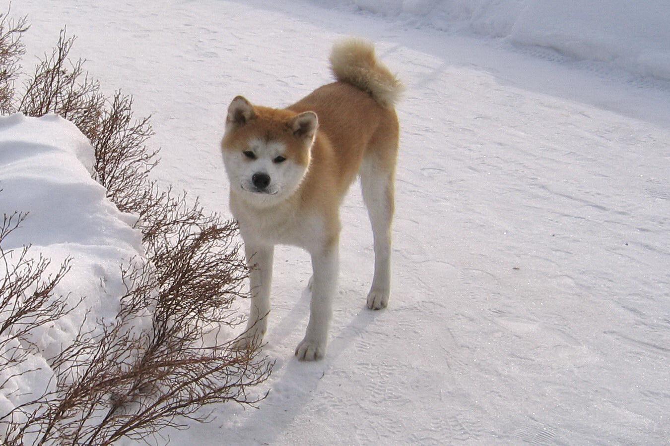 Північний пес