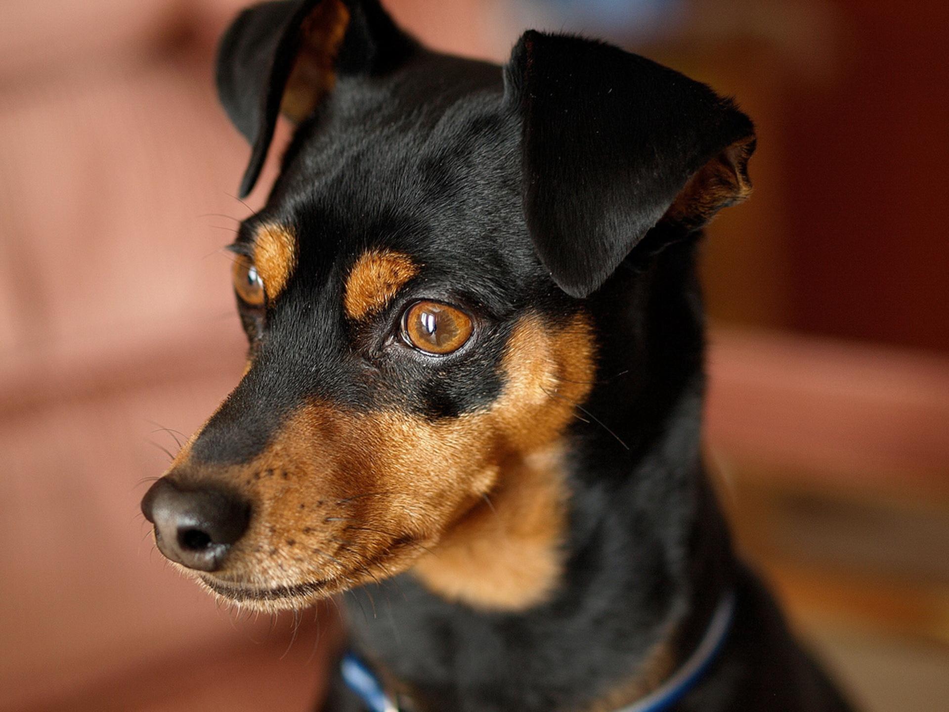 Розумний пес